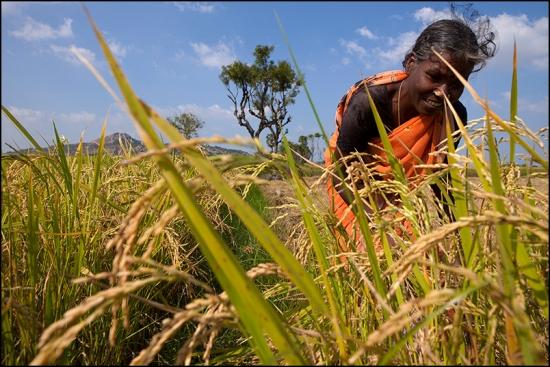 Harvest. Gingee. Tamil Nadu