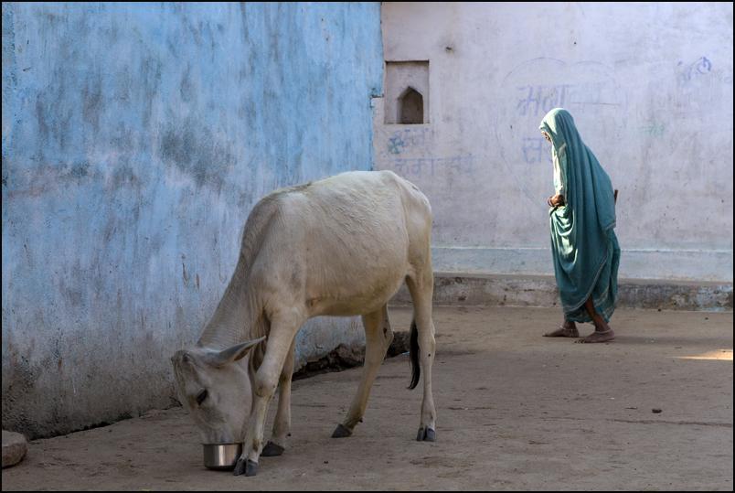 Holy Cow. Kajuraho. Madhya Pradesh