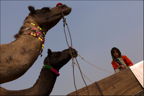 Camels. Pushkar