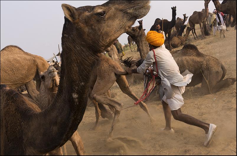 Camels. Pushkar. Rajasthan