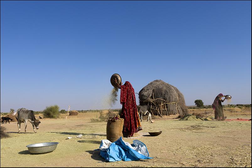 Winnowing in the Thar desert. Rajasthan